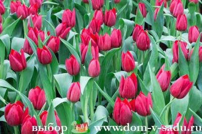 Когда сажать тюльпаны весной в каком месяце