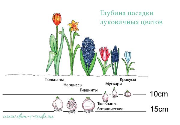 Когда осенью сажать тюльпаны и как