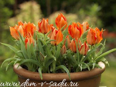 Попробуйте посадки тюльпанов в контейнерах - это идеальный вариант для Сибири и Урала.