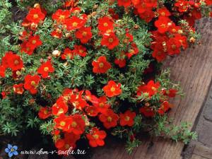Кустарник цветущий все лето