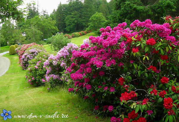 Красивоцветущие кустарники для сада и дачи