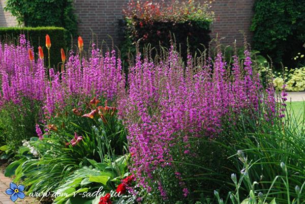 Садовые цветы сиреневые
