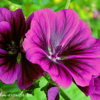 садовые цветы цветущие все лето