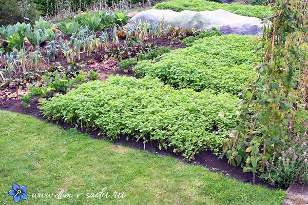 сидераты осенью в огороде