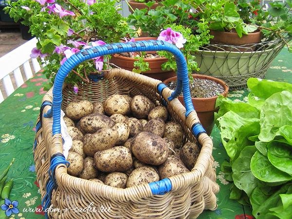 какую картошку посадить