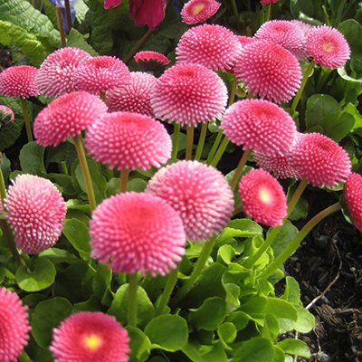 Цветы для клумбы цветущие все лето низкорослые