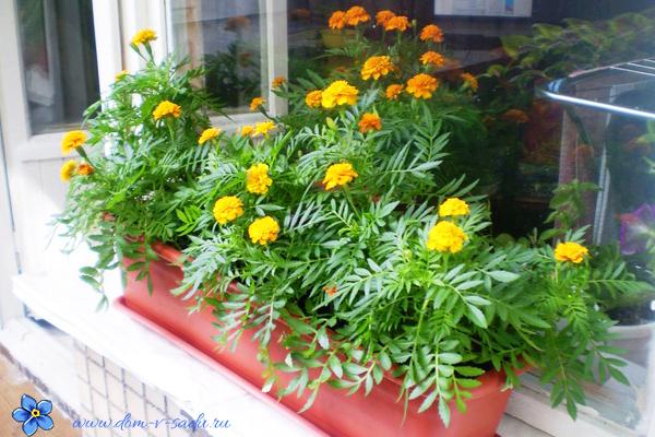 неприхотливые цветы для балкона