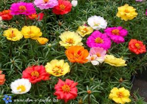 низкорослые садовые цветы