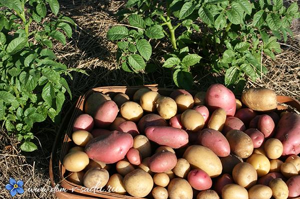 удобрения при посадке картофеля
