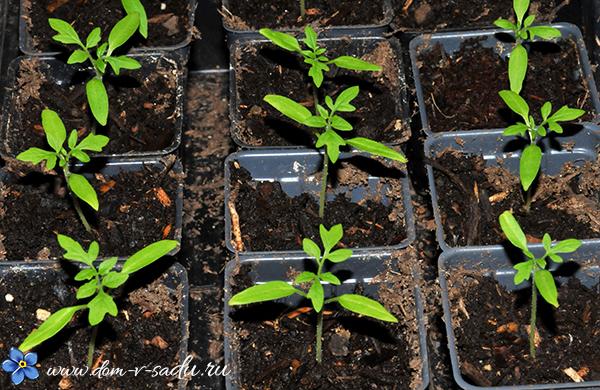 лучшие дни для посадки томатов на рассаду