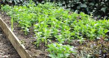 сидераты в огороде