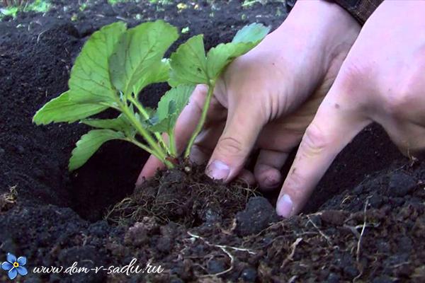 как правильно посадить клубнику в открытый грунт