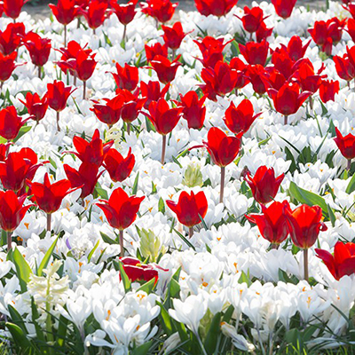 весенние луковичные цветы