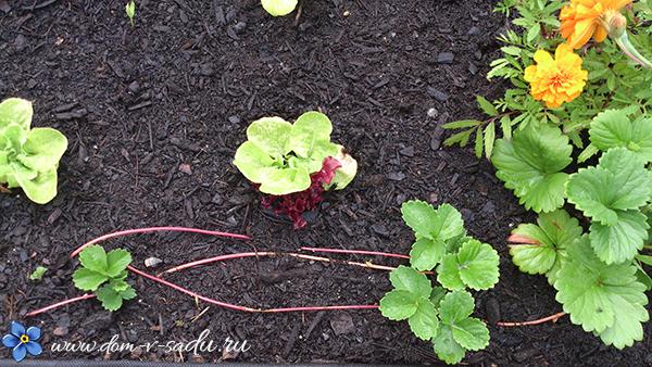 рассада садовой клубники из усов