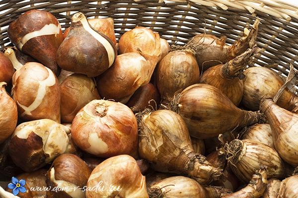 как сохранить луковиц тюльпанов