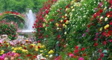 Чем укрывают розы на зиму