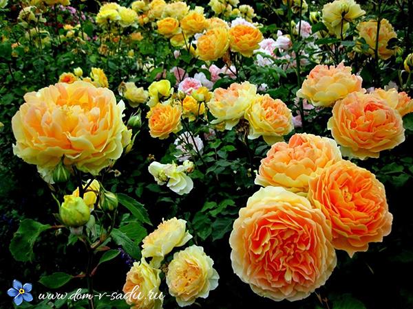 Плетистая роза полька фото