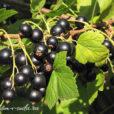 уход за черной смородиной в саду
