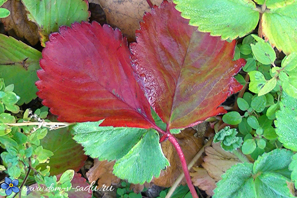 У клубники краснеют листья что делать
