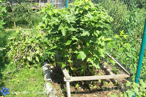 выращивание черной смородины в саду