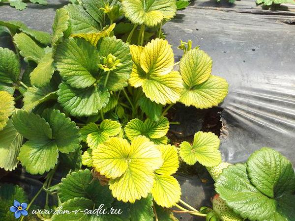 почему желтеют листья у клубники