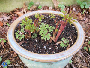 выращивание астильбы