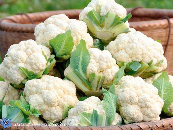как вырастить цветную капусту в открытом грунте
