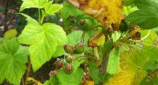 почему желтеют листья у смородины в июне