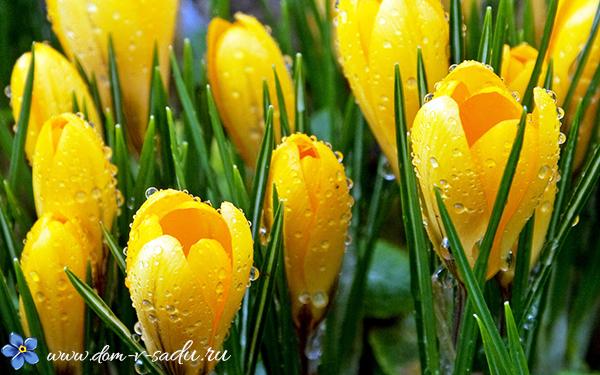 Крокусы нарциссы тюльпаны посадка и уход в открытом грунте