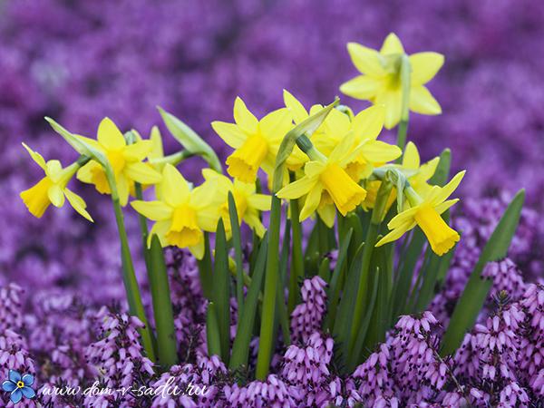 Когда сажать гиацинты и тюльпаны 15