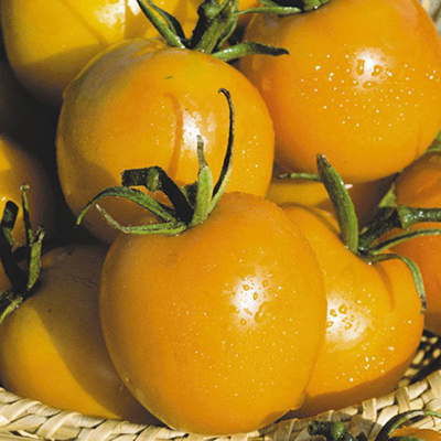 Сорта томатов для Подмосковья для открытого грунта и теплицы
