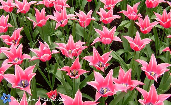 игольчатые тюльпаны