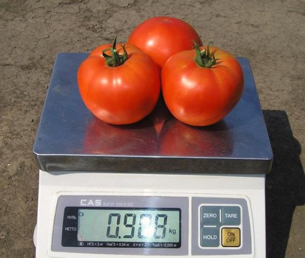 томат для теплицы
