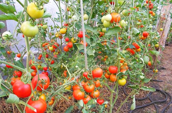 томат для выращивания в теплице из поликарбоната