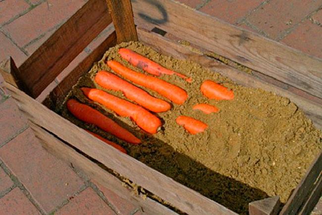 Как правильно хранить морковь в подвале