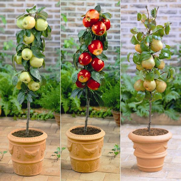 карликовые фруктовые деревья
