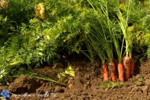 как убирать морковь с грядки
