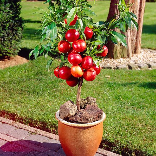 фруктовые мини деревья для сада