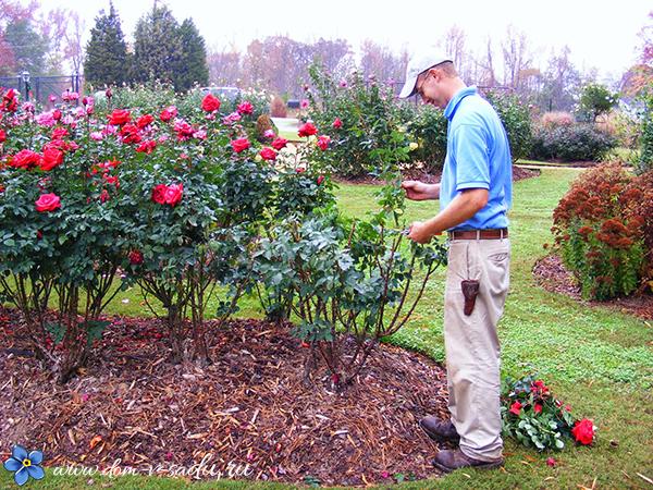 как утеплить корни роз зимой