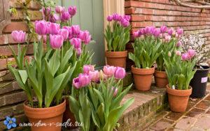 тюльпаны в контейнерах около дома