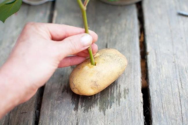 Размножение роз черенками в картошке