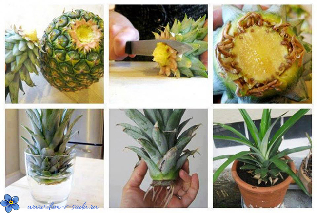 Как укоренить ананас в домашних условиях пошагово