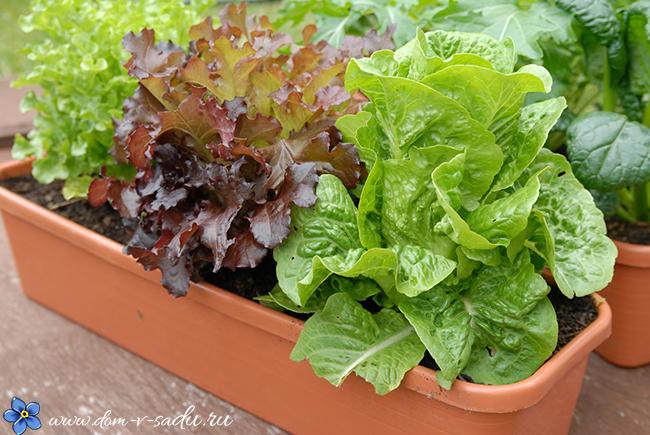 как вырастить салат дома