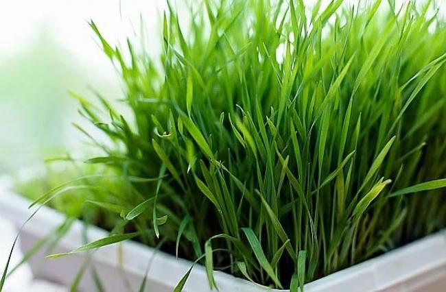 Зелень на подоконнике круглый год