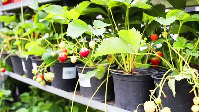Клубника выращивание дома в квартире 27