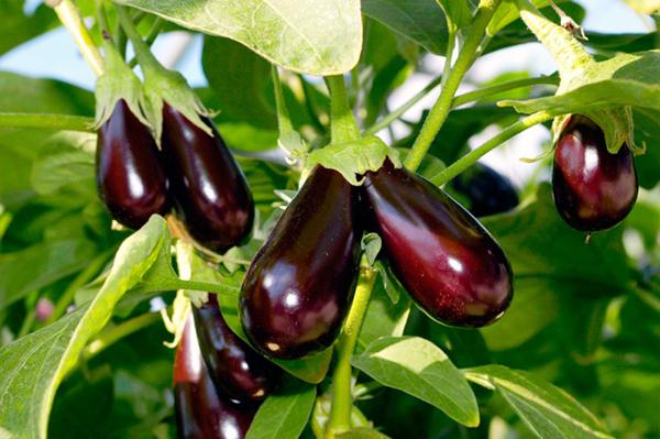 Лучшие сорта и семена баклажан