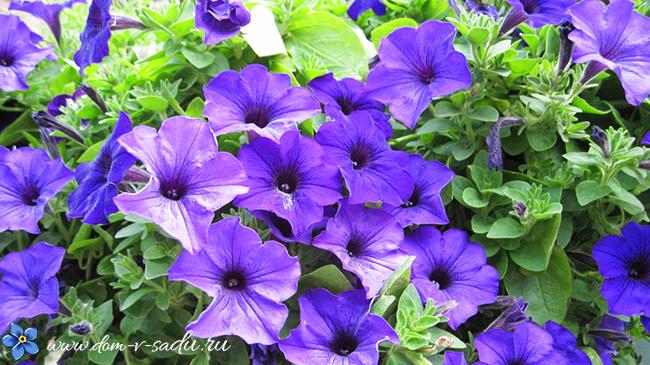 красивые однолетние цветы