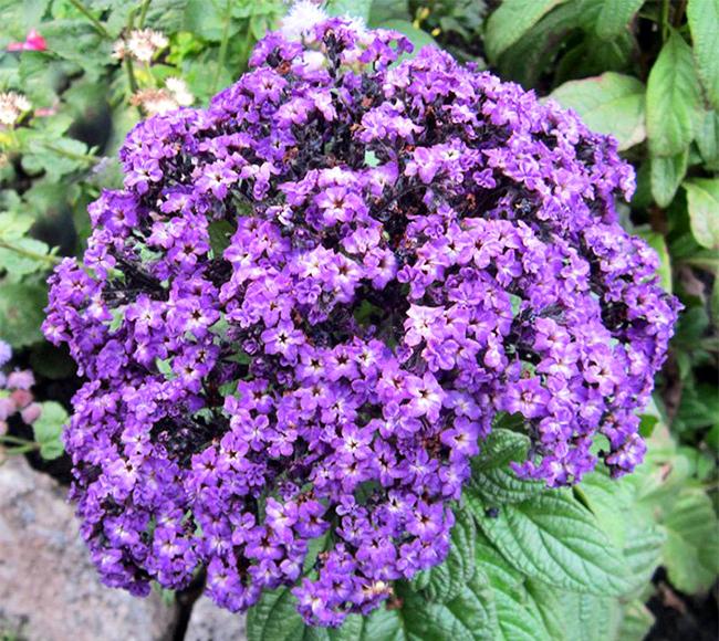 Гелиотроп цветов рассада когда сажать
