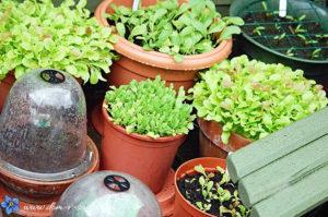 пряная зелень в горшках