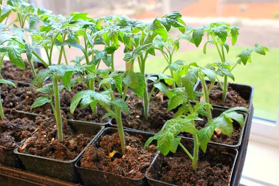 Посадка помидор на рассаду в 2019 году | когда сажать, в теплицу рекомендации